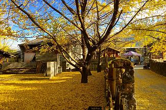 這個坐落在云南的邊陲小鎮,人少靜謐,更有千棵銀杏林美爆深秋!