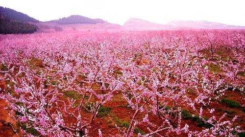 【平谷桃花节】4.20/21日两期平谷赏20万亩桃花+金海湖休闲游!