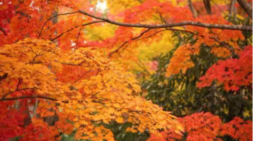 【喇叭沟】国庆天天发团·赏红叶·白桦林中漫步·1日休闲游!