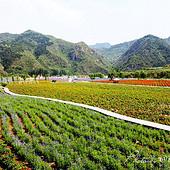 【北京·密云】徜徉在北京最大最美的花海里
